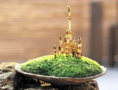 春を呼ぶツクシの鉢植え