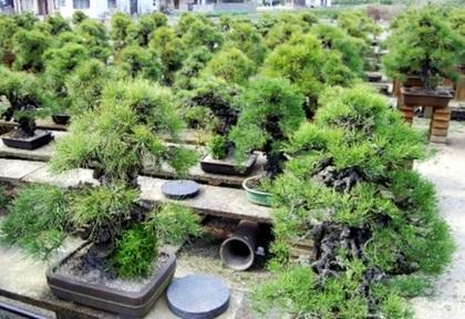 錦松の古木が並ぶ専松園