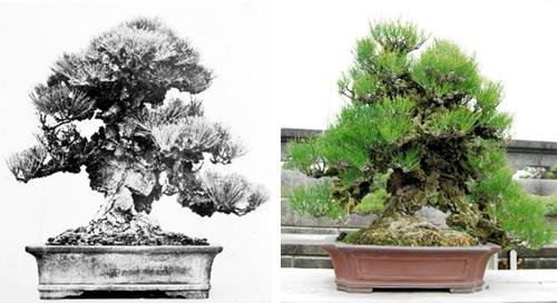 第45回国風展に出品した当時の錦松(左)と現在の姿