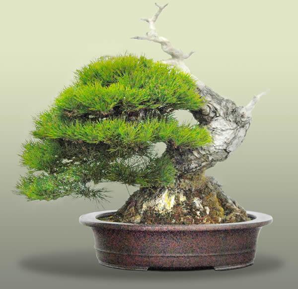 Kuromatsu Japanese Black Pine Galleries Bonsai