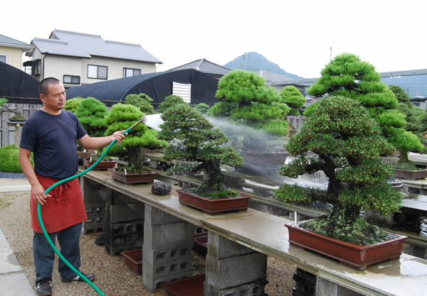 Watering Important Balance Of Dry And Wet Start Bonsai Bonsai